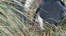 Macaroni Penguin Pair Nesting In Tussock Grass