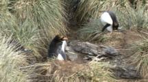 Macaroni Penguin Nesting, Eudyptes Chrysolophus