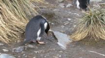 Macaroni Penguin Collecting Rocks, Eudyptes Chrysolophus