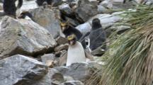 Macaroni Penguin Climbing Rocks, Eudyptes Chrysolophus