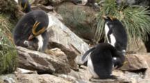 Macaroni Penguin Preening, Eudyptes Chrysolophus