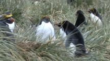 Macaroni Penguin, Nesting, Eudyptes Chrysolophus