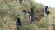 Macaroni Penguin, Eudyptes Chrysolophus