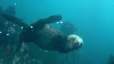 A Southern Sea Otter swims by underwater and pauses to investigate.