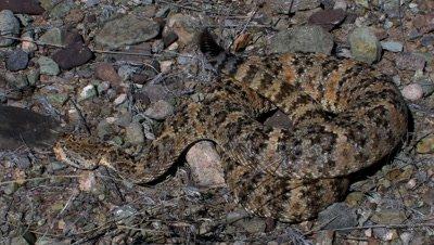 Speckled rattlesnake (Crotalus mitchelli)