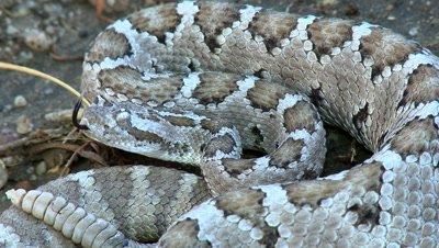 Baja california rattlesnake (Crotalus enyo)