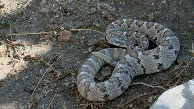 Baja California rattlesnake (Crotalis enyo)