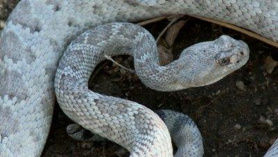 Rattlesnaks Stock Footage