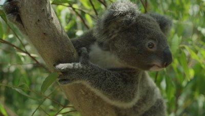 Koala in tree - Australia