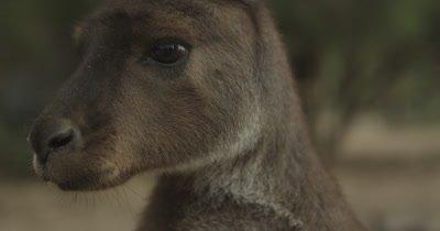 Kangaroos - Native Australian Marsupial