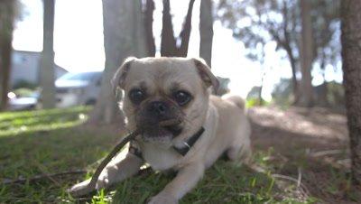 Dog chewing stick - pug