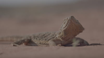 Central Bearded Dragon Lizard - Pagona Vitticeps