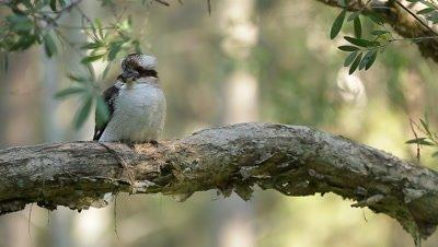 Kookaburra in a tree - Australia