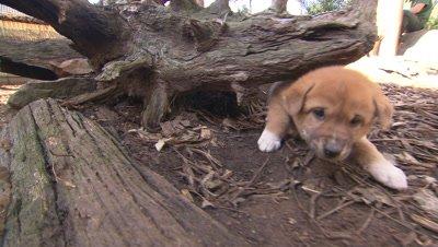 Australian Animals - Dingo puppies