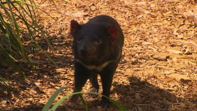 Australian Animals - Tasmanina Devil