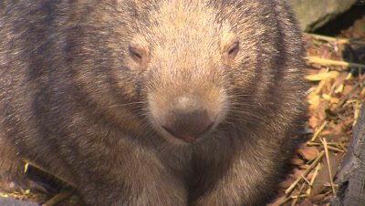 Australian Animals - Wombat