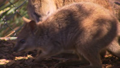 Australian Animals - Wallaby