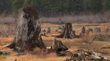 Tree Stumps Prominent  In Dry Lake Bed.  Deforestation.