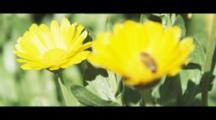 Pretty Yellow Garden Flowers. Bee Collecting Pollen.