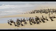 A Flock Of Cormorants Stand On A Beach Edge. Nearest Birds Fly Away. Shot In Mexico. Atmospheric, Wildlife.