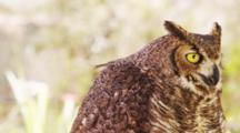 Great Horned Owl Portrait. Looking Around And At Lens.