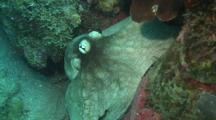 Reef Octopus Spreading Ink