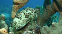 Balloonfish Swims Over Reef