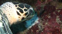 Hawksbill Feeding On Spronge