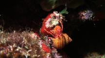 Red Hermit Crab
