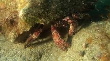 White Speckled Hermit Crab