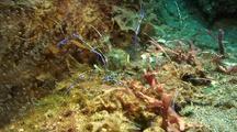 Pederson Shrimps