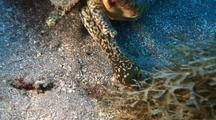 Queen Conch Feeding On Algae