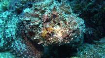 Reef Scorpionfish Portrait
