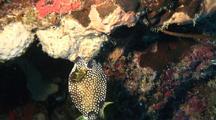 Smooth Trunkfish Eating Tubesnail