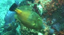 Filefish Over Deep Reef