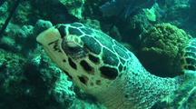 Hawksbill Turtle Svimming