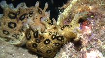 Spotted Sea Hare Mating