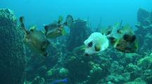 Smooth Trunkfish Group,