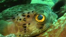 Balloonfish Close Up Eye