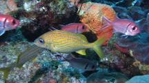 Grunt And Blackbar Soldierfish Over The Reef