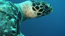 Hawksbill Close Up And Swim Out Of Frame,