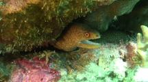 Goldentail Moray In Under Rock