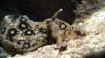 Spotted Sea Hare Feeding On Alga