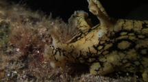 Spotted Sea Hare Feeding