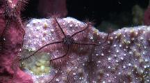 Brittle Stars On Sponge