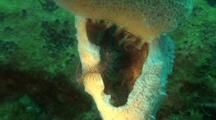 Brittle Stars In Sponge