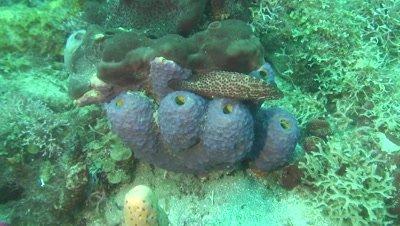 rock hind and blue sponge