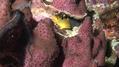 juvenile damselfish and brittle stars om purple sponge