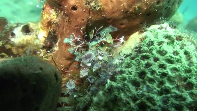 social feather duster on coral opening