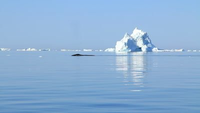 Bowhead whale swimming and diving,ice berg drifting